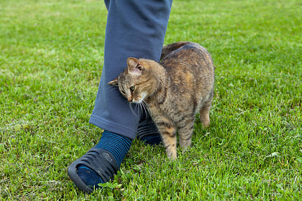 Gray cat Gray cat rubbing against female leg rubbing stock pictures, royalty-free photos & images