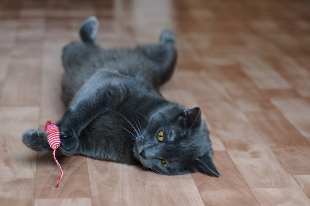 Gray cat plays with a toy with a mouse lying on the floor in the room picture id1171770657?b=1&k=6&m=1171770657&s=612x612&w=0&h=v8yeadpyhcprkovqf6ugxaraisonhyhhanh3uh ct94=
