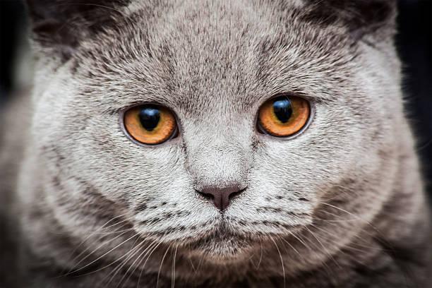 Gray cat portrait picture id530839817?b=1&k=6&m=530839817&s=612x612&w=0&h=43dpsyujgxplnri7vjivm7kfdh92pnir 6p3kuzt3b4=