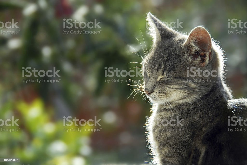 Gray cat side view portrait royalty-free stock photo