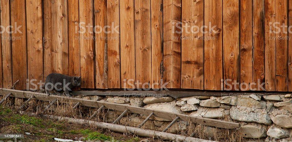 Gray Cat Walking royalty-free stock photo