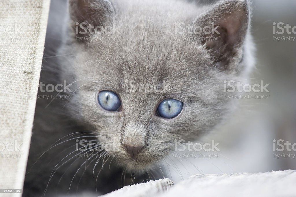 Gray cat with blue eyes stock photo