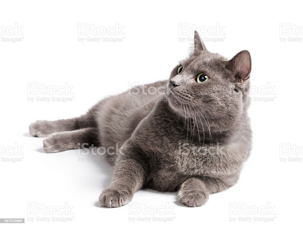 gray cat with green eyes lying stock photo