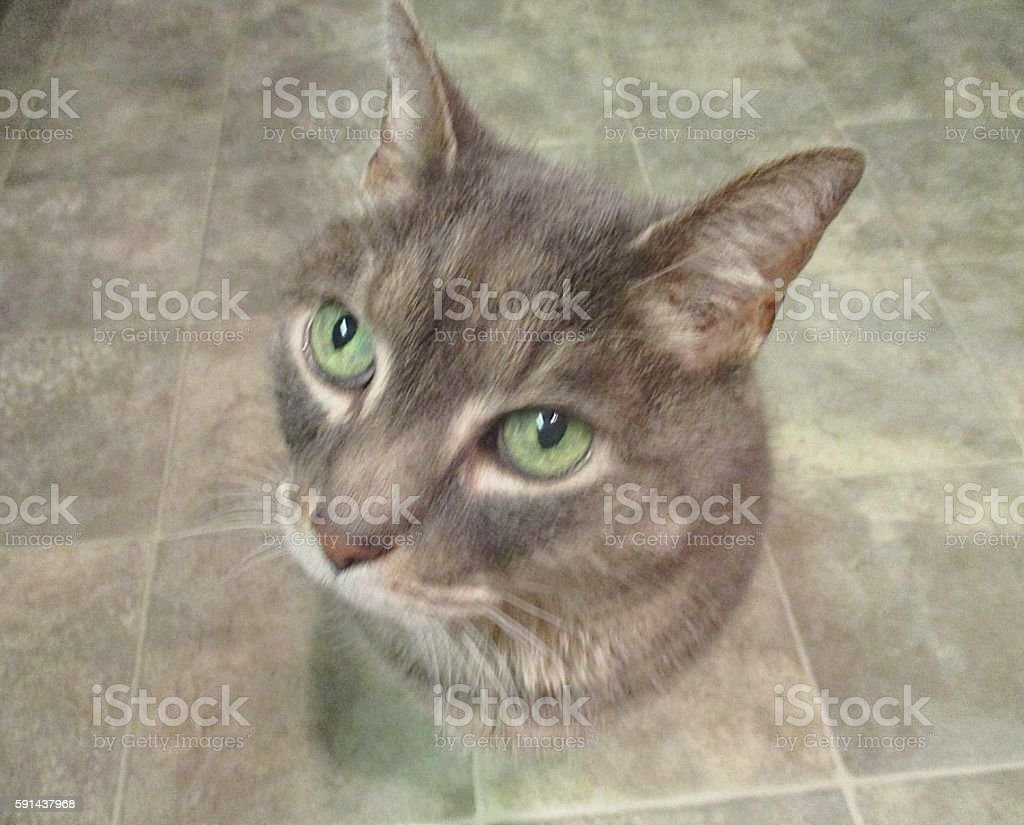 Gray Cat with Green Eyes on Kitchen Floor stock photo
