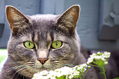 Gray cat with green eyes outside in the flowers. Hunting look.