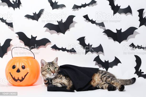 Gray cat with plastic pumpkin and black paper bats on white picture id1048126352?b=1&k=6&m=1048126352&s=612x612&h=hzbrgbuvfczwongkllo3bgevyh49ckq5zggvegff75e=