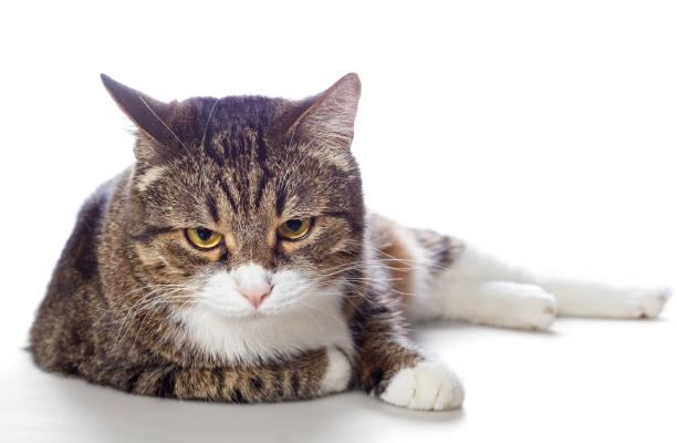 Gray cat with sad eyes picture id951680242?b=1&k=6&m=951680242&s=612x612&w=0&h=ejcijcfp8zvks8jcahvto1kze0dirdnwagouizvb23e=