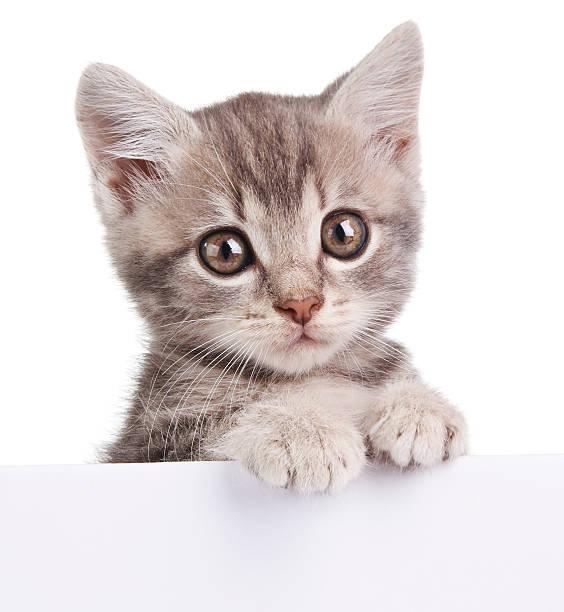 Gray cat with white board picture id495931004?b=1&k=6&m=495931004&s=612x612&w=0&h=wcl1jw24zwzwzyprg4p9a zdmt8py5mlk9en5wun1jk=