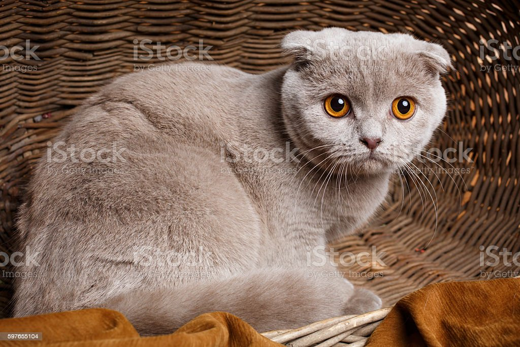 gray cat with yellow eyes Scottish Fold Sits in a stock photo