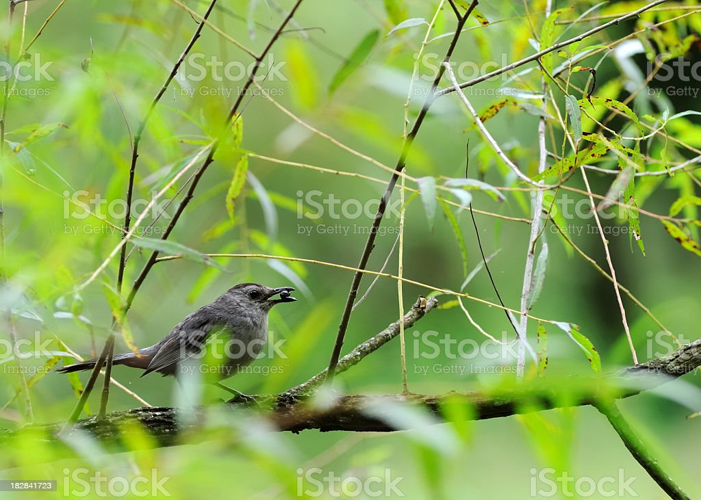 Gray Catbird Eating Pokeberry stock photo