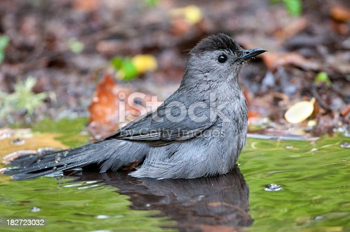 Gray Catbird Having a Bath
