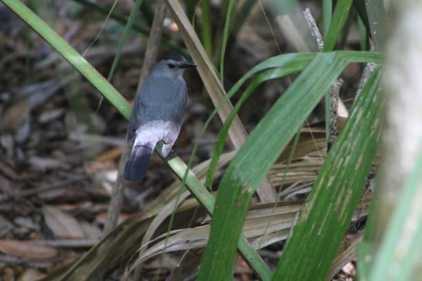 Gray catbird in greenery stock photo
