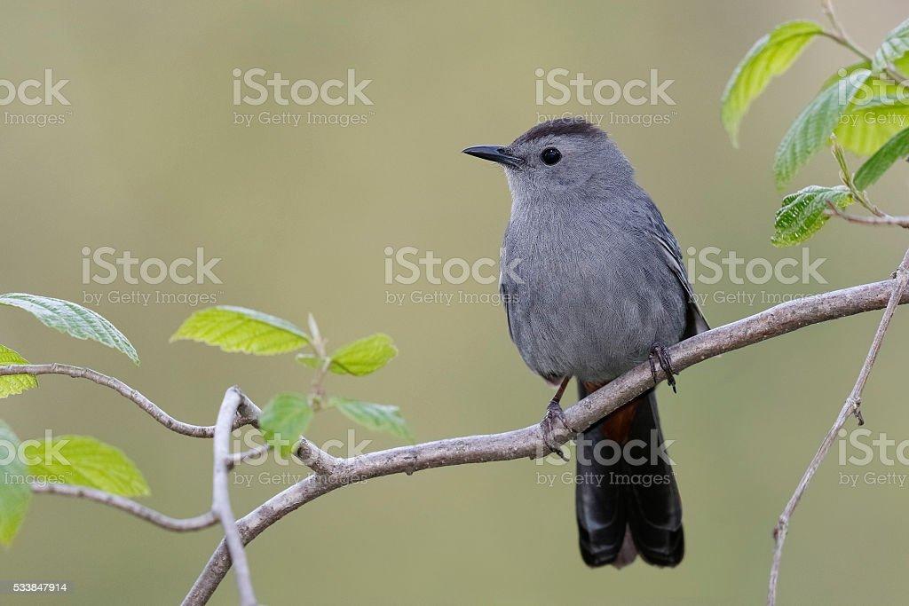 Gray Catbird Perched on a Branch - Ontario, Canada stock photo
