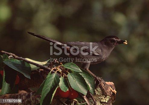 Gray Catbird (Dumetella Carolinensis). Photographed by acclaimed wildlife photographer and writer, Dr. William J. Weber.