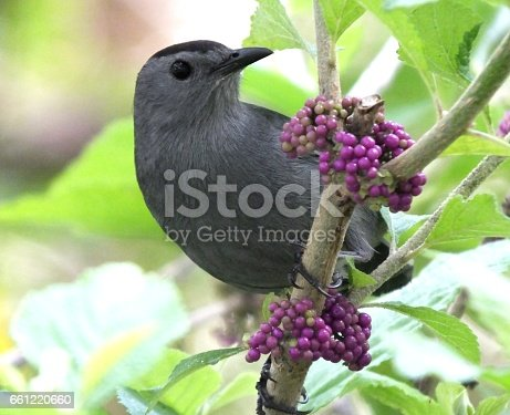 Gray Catbird perched on an American Beautyberry plant.