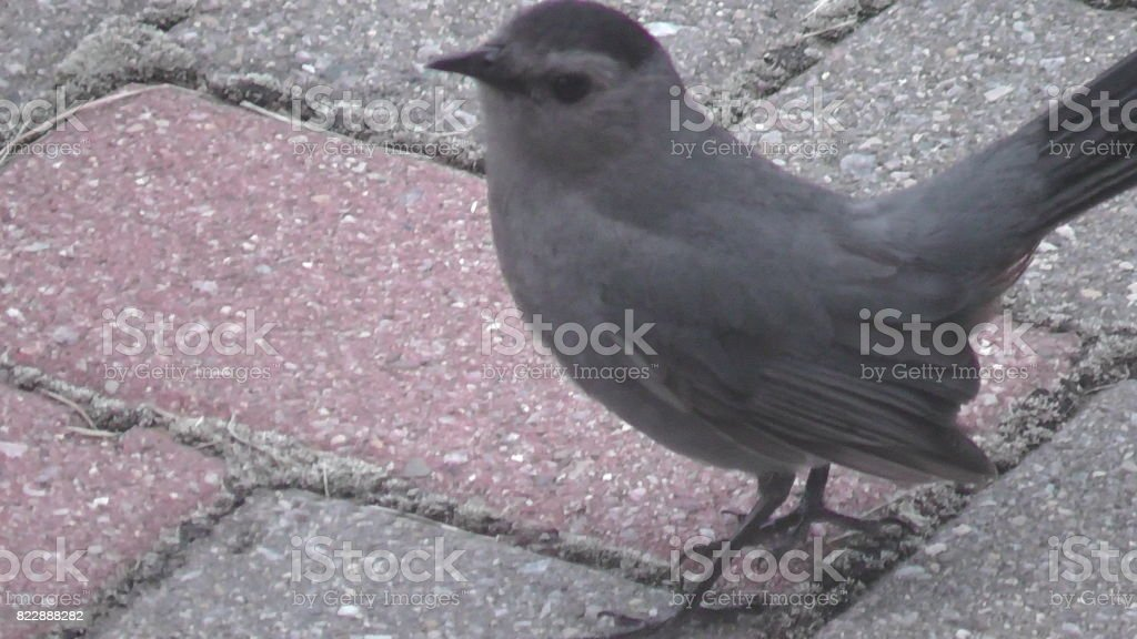 Gray Catbird stock photo