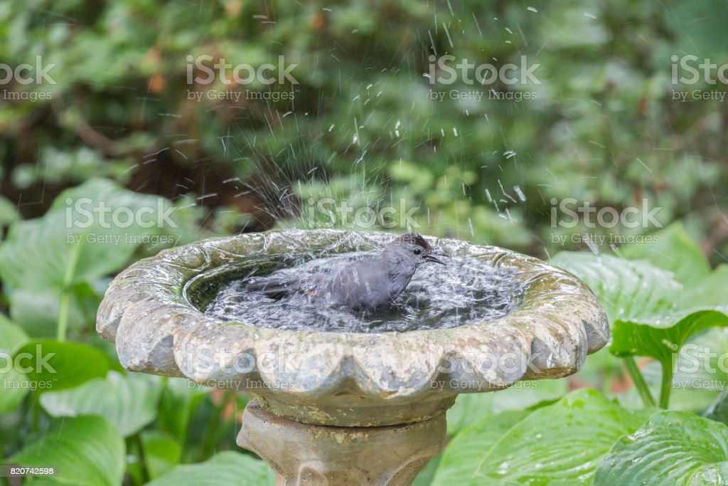Gray Catbird Taking a Bath, Lots of Spashing In The Water stock photo