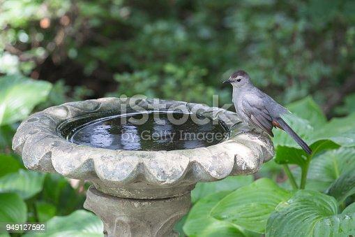 A Gray Catbird sits on the rim of a birdbath waiting to bathe.
