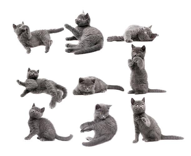 Gray cats picture id163520720?b=1&k=6&m=163520720&s=612x612&w=0&h=1dvbqa p2asuzmhv9r9oadc005 xyha2w1xzzj4od4a=