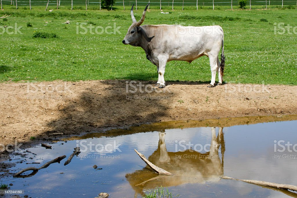 gray cattle6 royalty-free stock photo