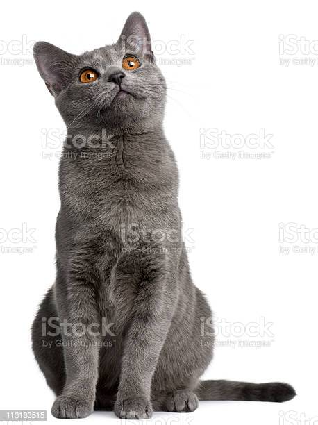 Gray chartreux kitten looking up picture id113183515?b=1&k=6&m=113183515&s=612x612&h=yseodurjp8rcjwkvq 0cptxsporzltn12wrc8dzncvs=
