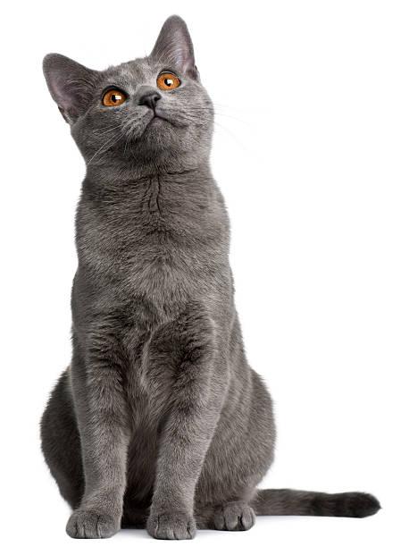 gray chartreux katze nachschlagen - karthäuserkatze stock-fotos und bilder