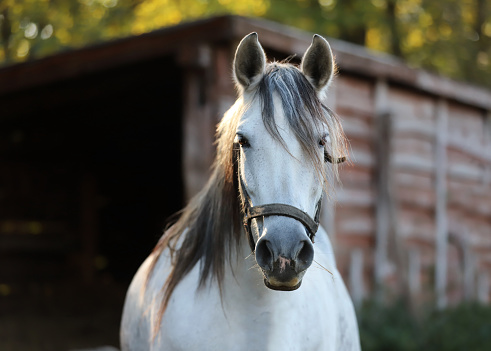 Gray colored mare looking over the electric corral fence