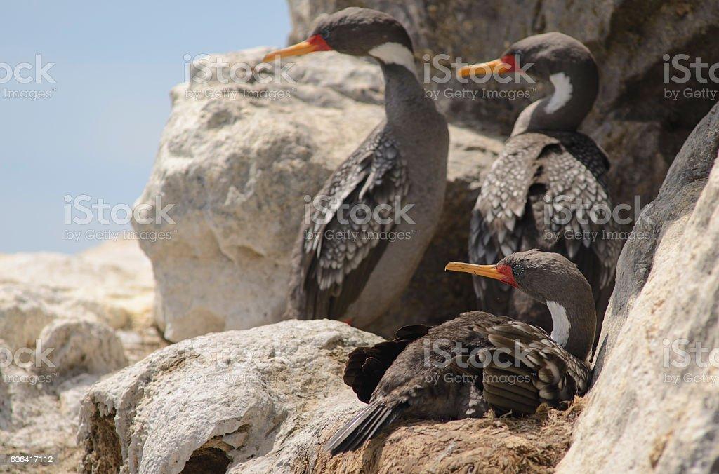 Gray Cormorant stock photo
