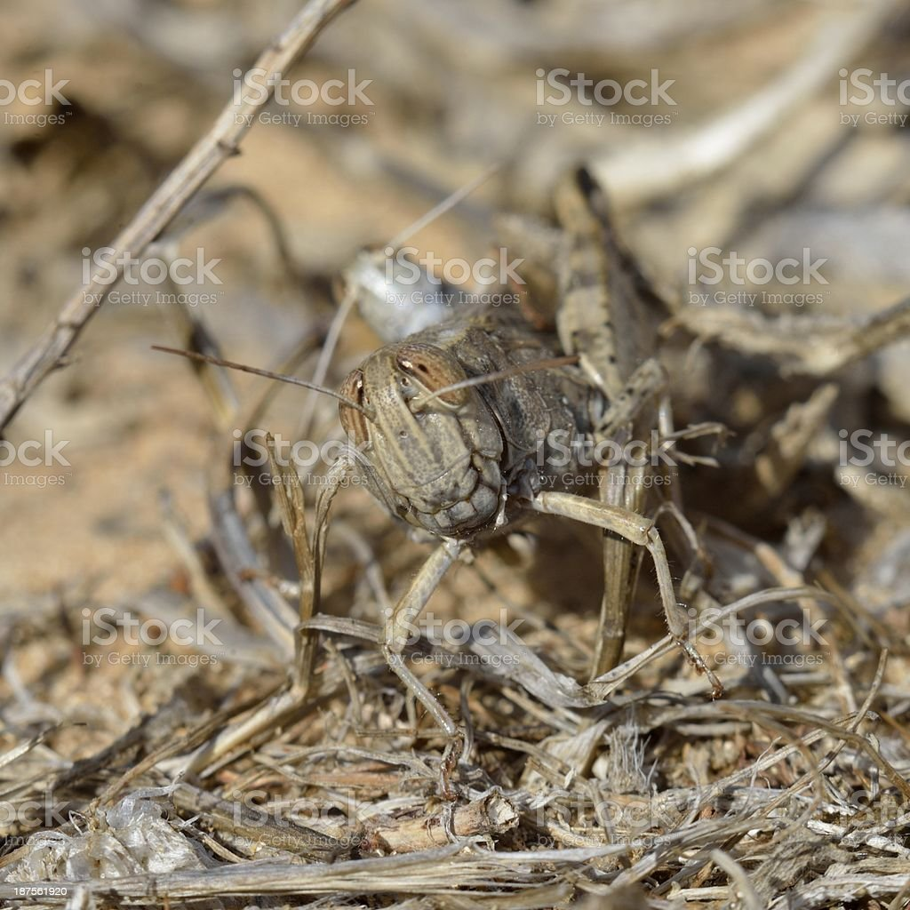 Gray cricket royalty-free stock photo