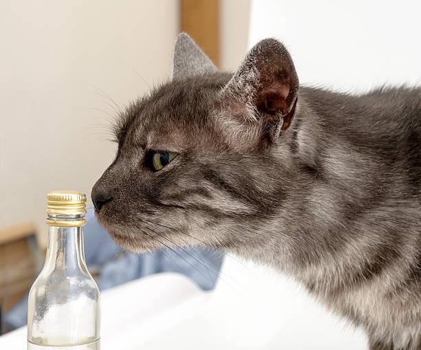 gray domestic cat smells chemicals - suche katze stock-fotos und bilder