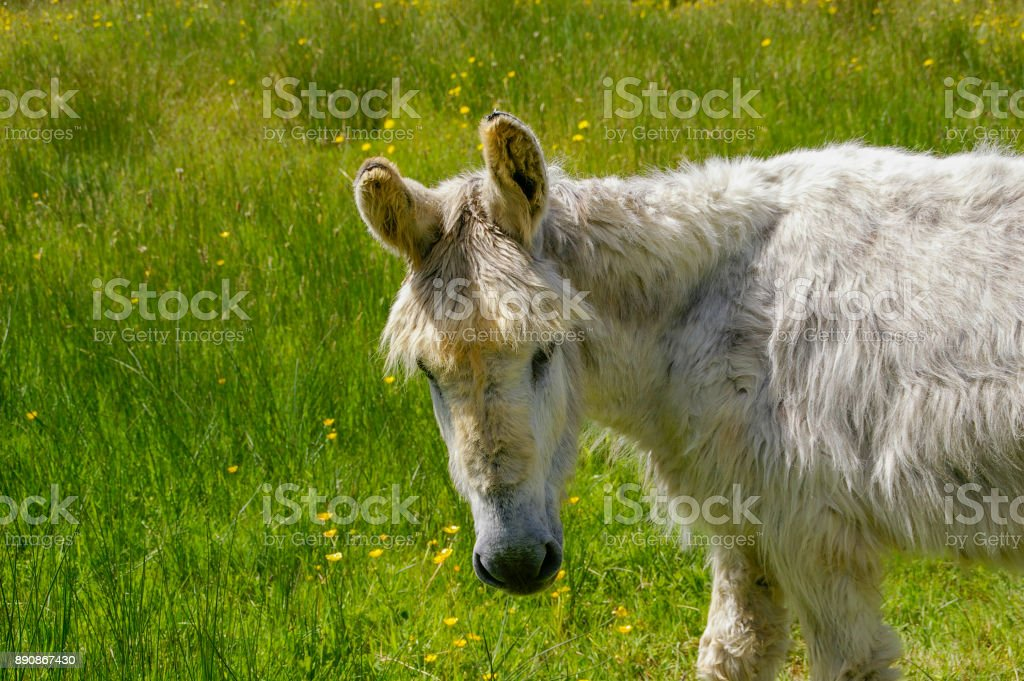 Gray donkey buttercup meadow in summer stock photo