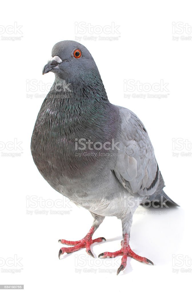 gray dove stock photo
