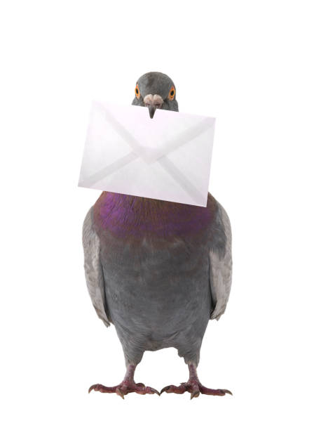 gray dove with envelope isolated on white gray dove with envelope isolated on white background pigeon stock pictures, royalty-free photos & images