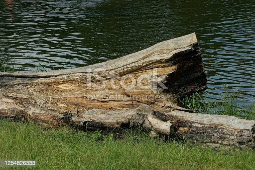 gray dry poplar log lies in the green grass on the shore of a lake near the water