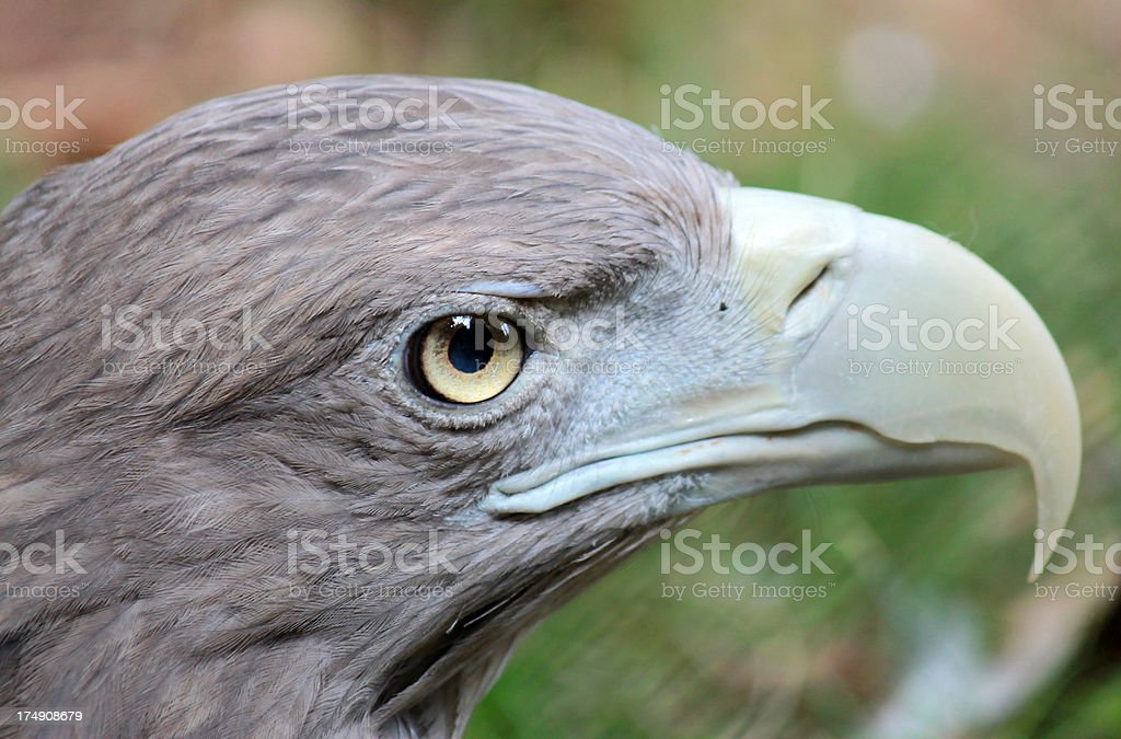 Águia cinzenta - foto de acervo