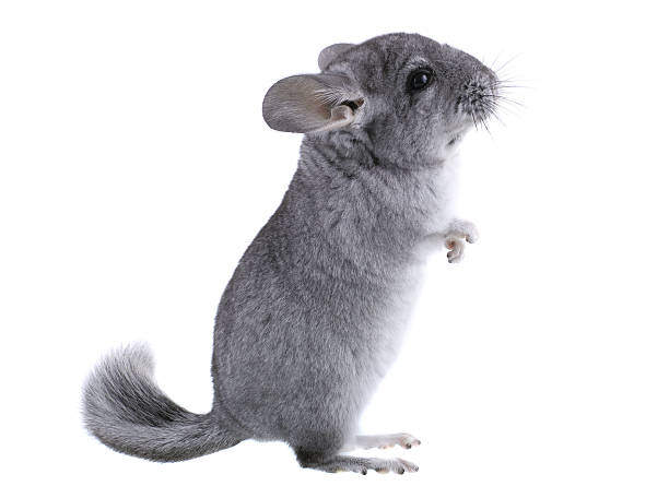 Gray ebonite chinchilla on white background. stok fotoğrafı
