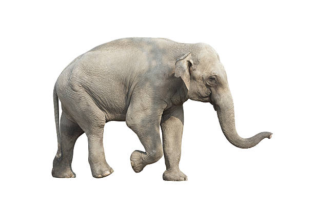 A gray elephant pictured against a white background stock photo