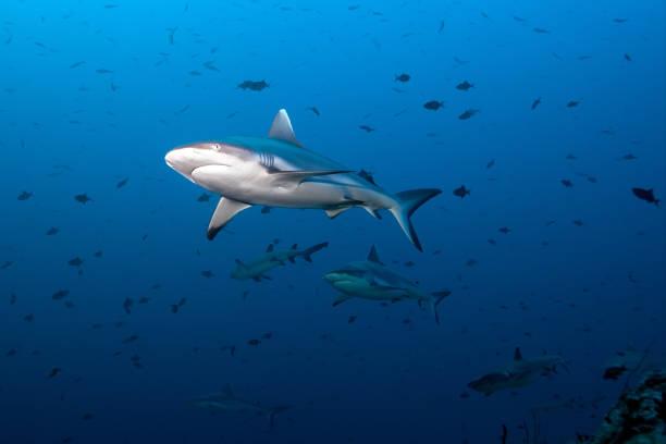 Gray Fin Reef Shark stock photo