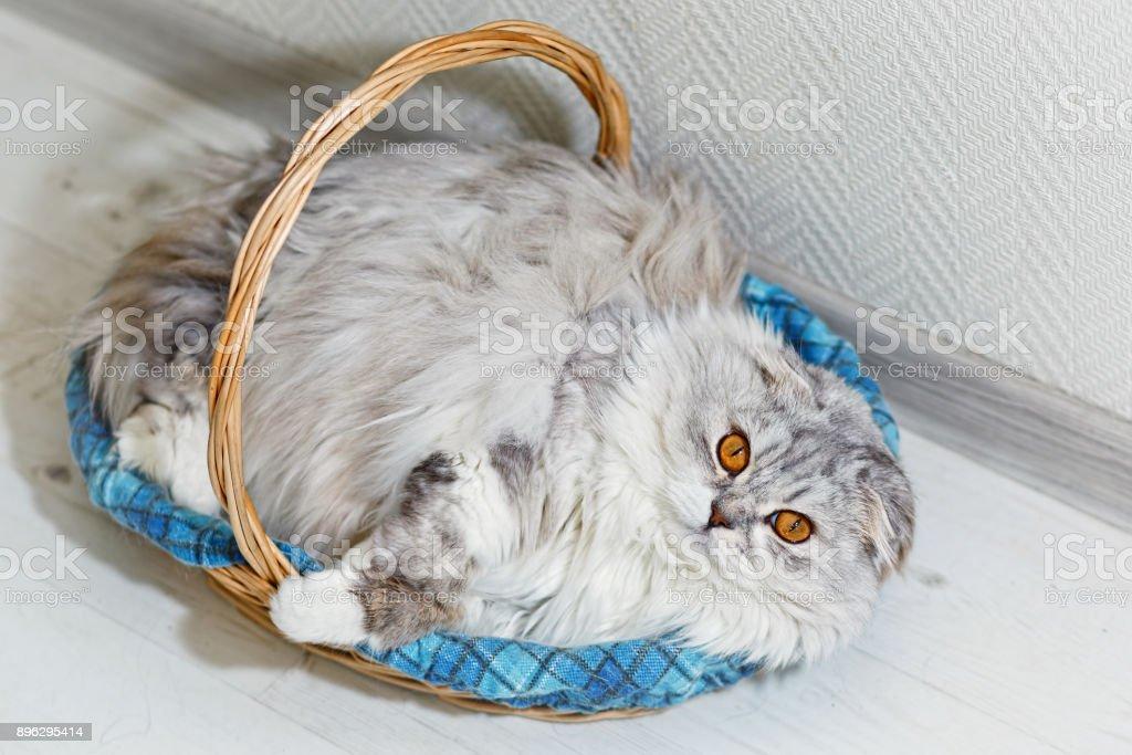 Gray flap eared cat lies in a sleeping basket stock photo