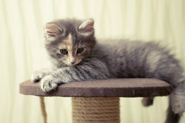 Gray fluffy kitten lies on top of a game complex with scratching post picture id1225902738?b=1&k=6&m=1225902738&s=612x612&w=0&h=hc7045aiz8rwzc0g8gffe5csxc ipfm4b2bk7ljxsze=