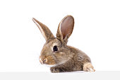 gray fluffy rabbit looking at the signboard. Isolated on white background. Easter bunny