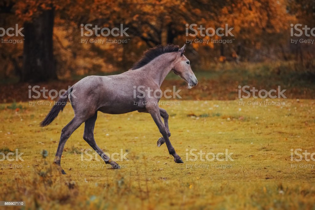 Gray foal in the autumn landscape stock photo