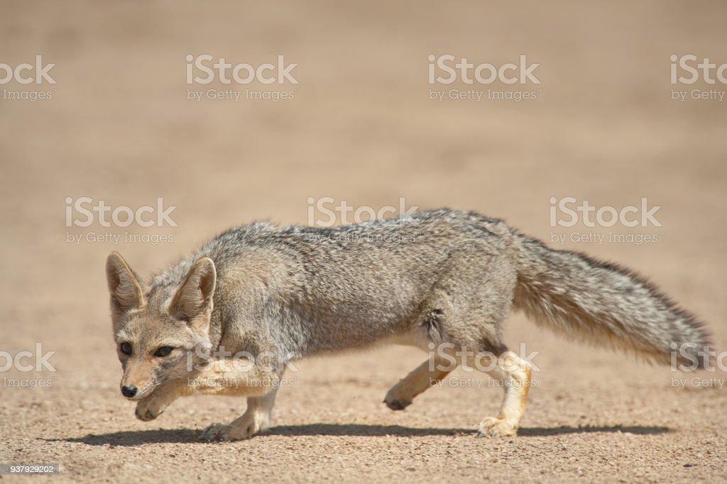 Gray Fox (Dusicyon griseus) in Talampaya, San Juan, Argentina. Talampaya was declared UNESCO World Heritage Site stock photo