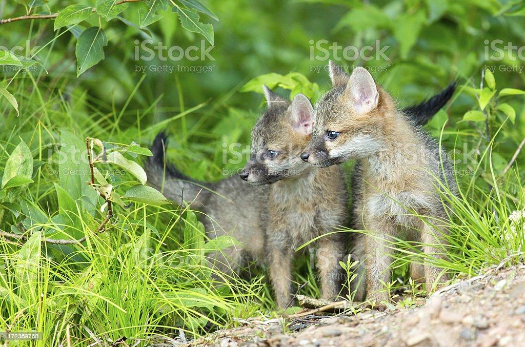 Gray Fox Kit royalty-free stock photo