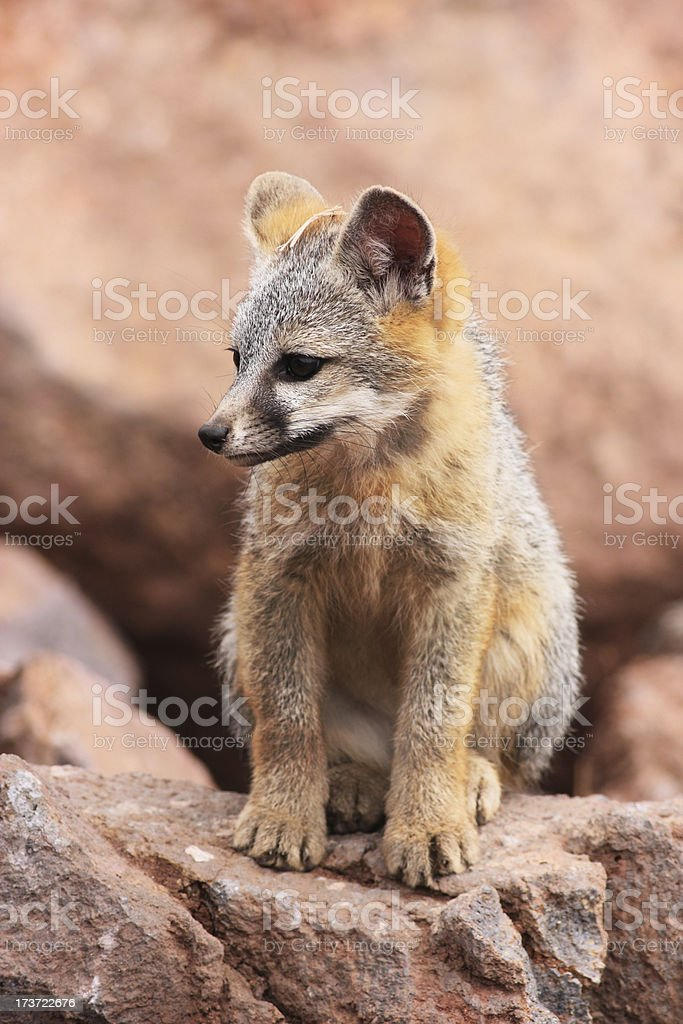 Gray Fox Kit Urocyon cinereoargenteus royalty-free stock photo