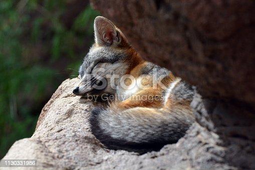 Gray fox sleeping