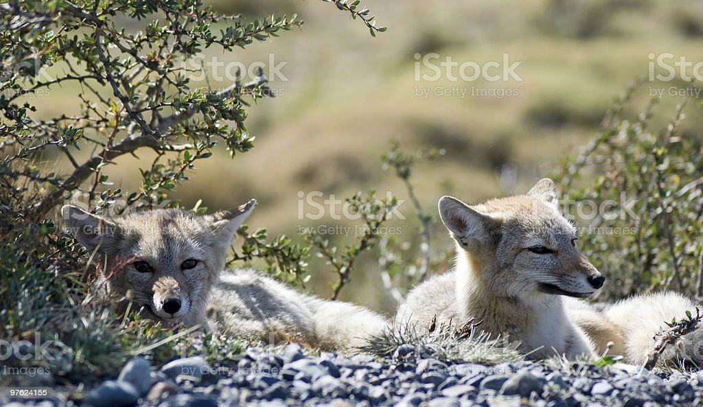Gray Foxes royaltyfri bildbanksbilder