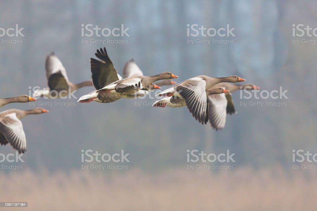 graue Gänse Gruppe (Anser Anser) fliegen über reed – Foto