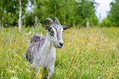 Beautiful grey goat grazing on a green meadow in the grass in the summer in the countryside