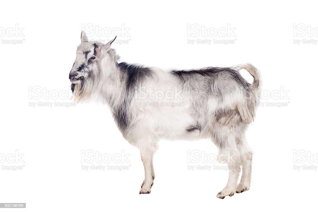 Gris chèvre sur blanc - Photo